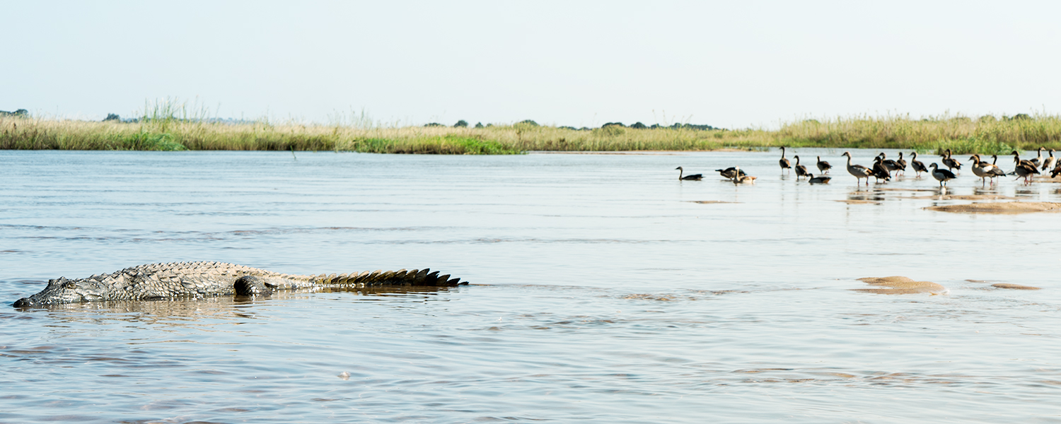 Crocodile in Zambezi river, Zambia Africa