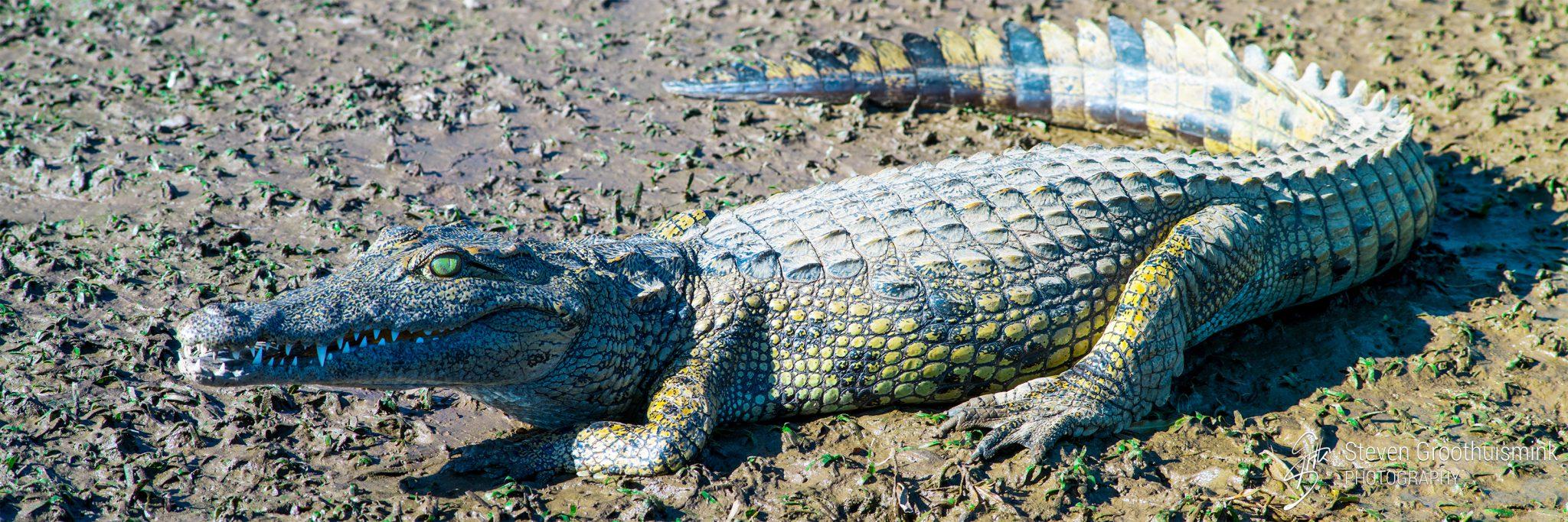 Krokodil op de oever van de Zambezi River, Zambia, Afrika