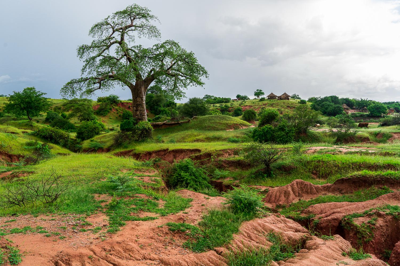 Majestic Baobab, op weg naar Lake Kariba staat deze prachtige boom.