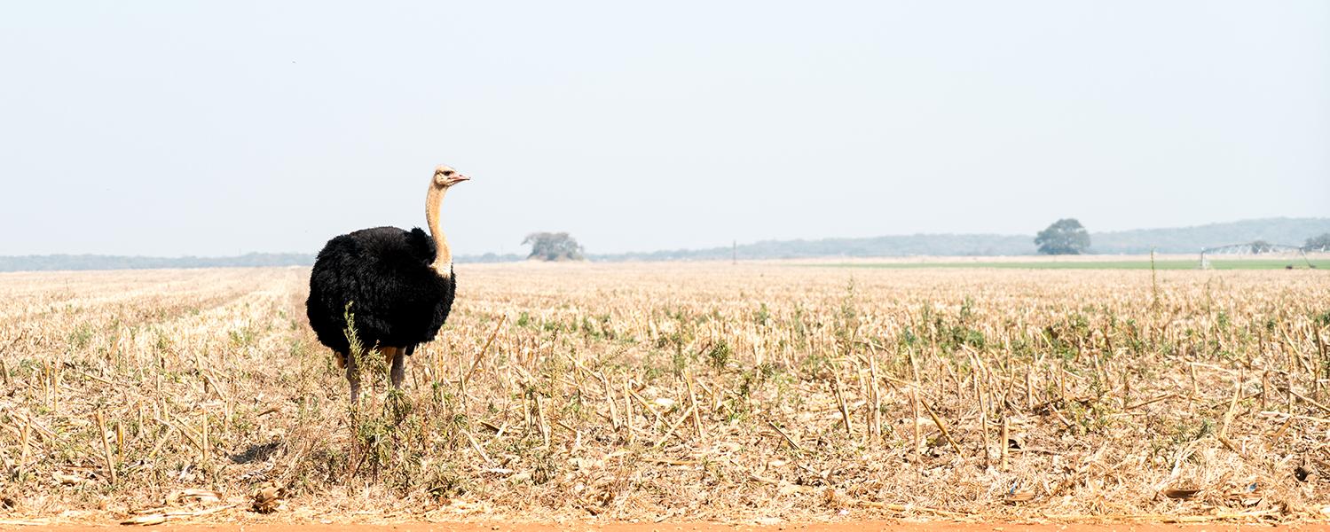 Ostrich oftewel struisvogel in Zambia, Afrika